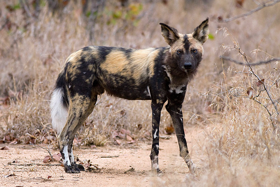 Photograph Wild dog by Jochen Van de Perre on 500px
