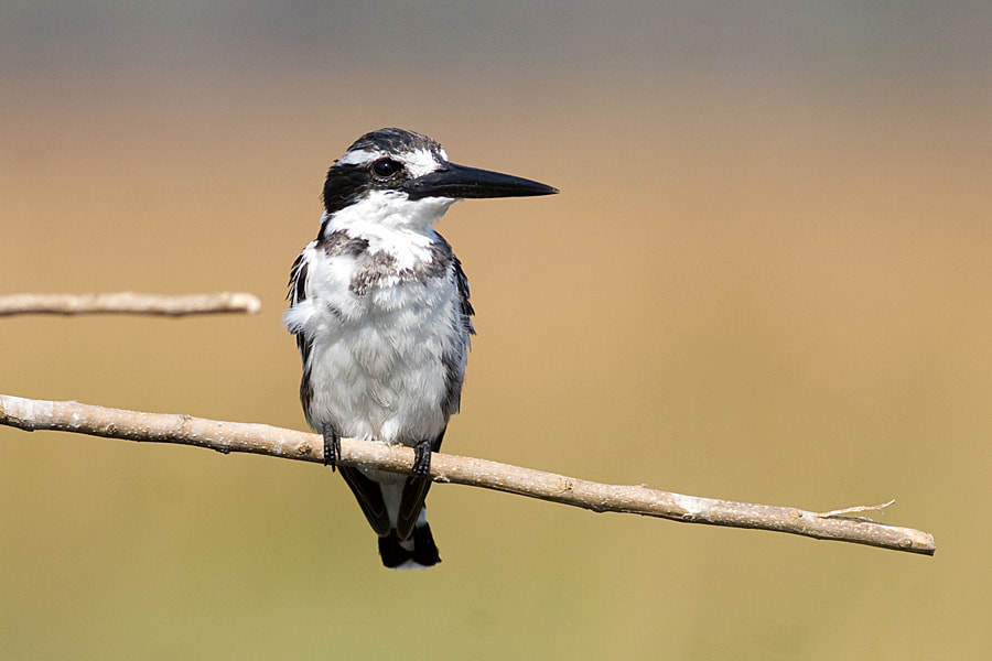 Photograph Pied kingfisher by Jochen Van de Perre on 500px