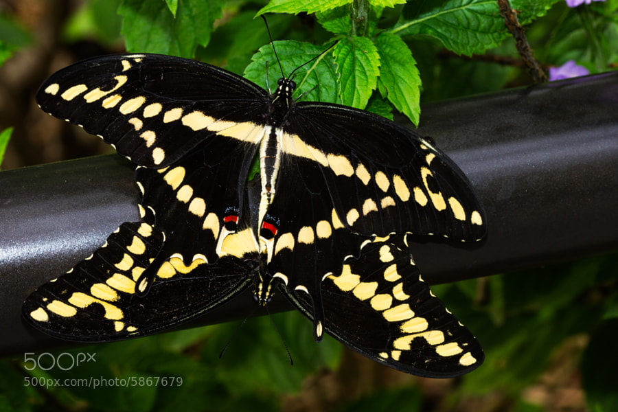 Two Swallowtail butterflies sharing a beautiful moment at Butterfly World, Coconut Creek, FL