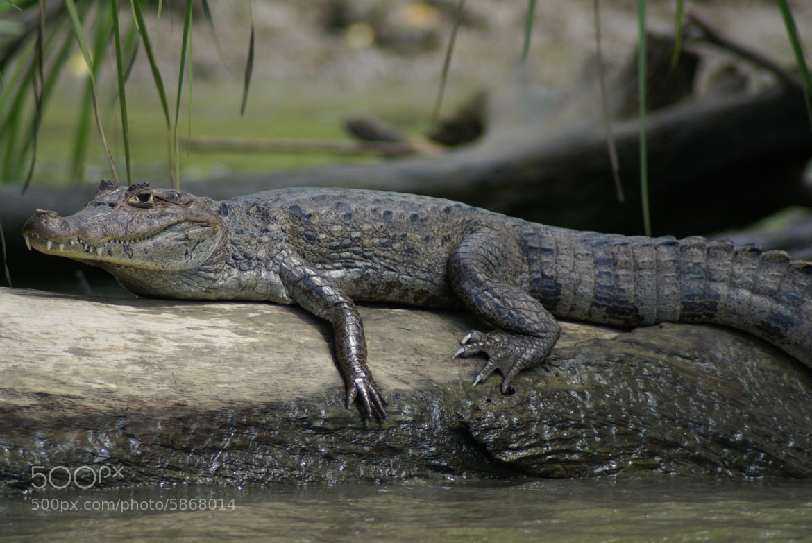 Photograph Aligator by Victoria Rodriguez on 500px