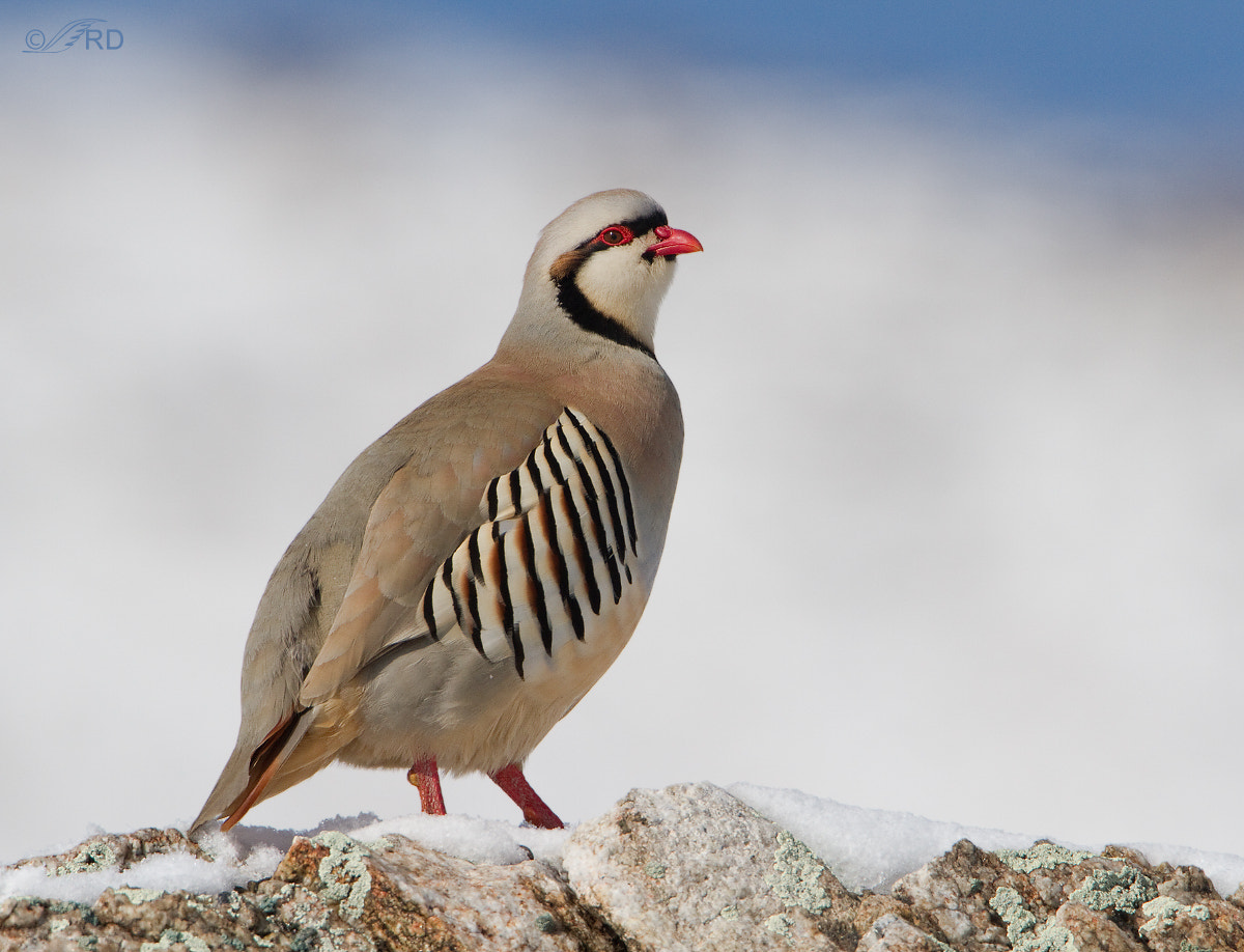 Photograph Chukar in Snow by Ron Dudley on 500px