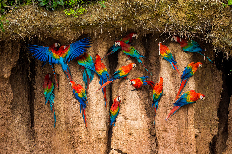Macaws eating the clay at Chuncho Colpa by Zoltan Szabo on 500px.com