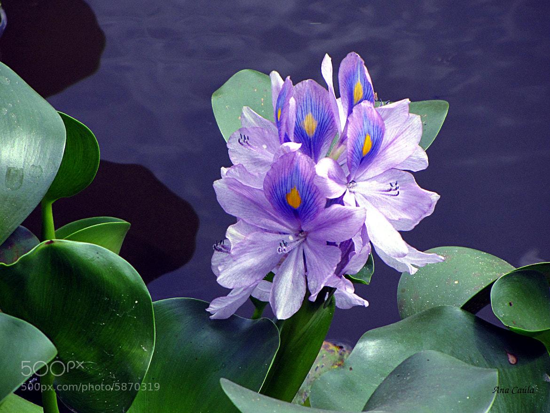 Photograph Lilac by Ana Caúla Cribari on 500px