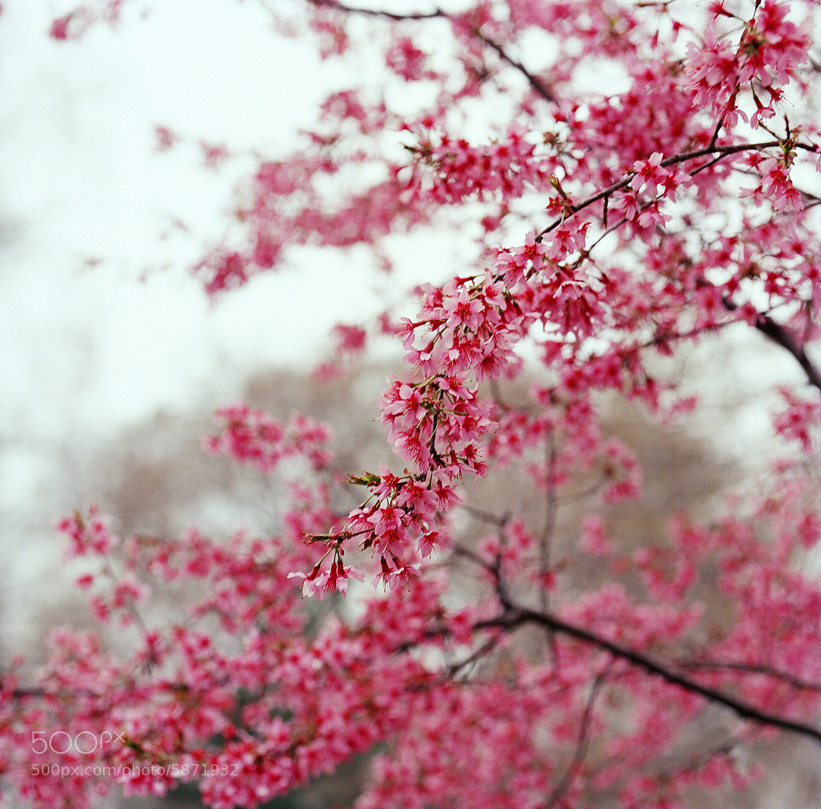 Photograph Cherry Lover by Sii Wong on 500px