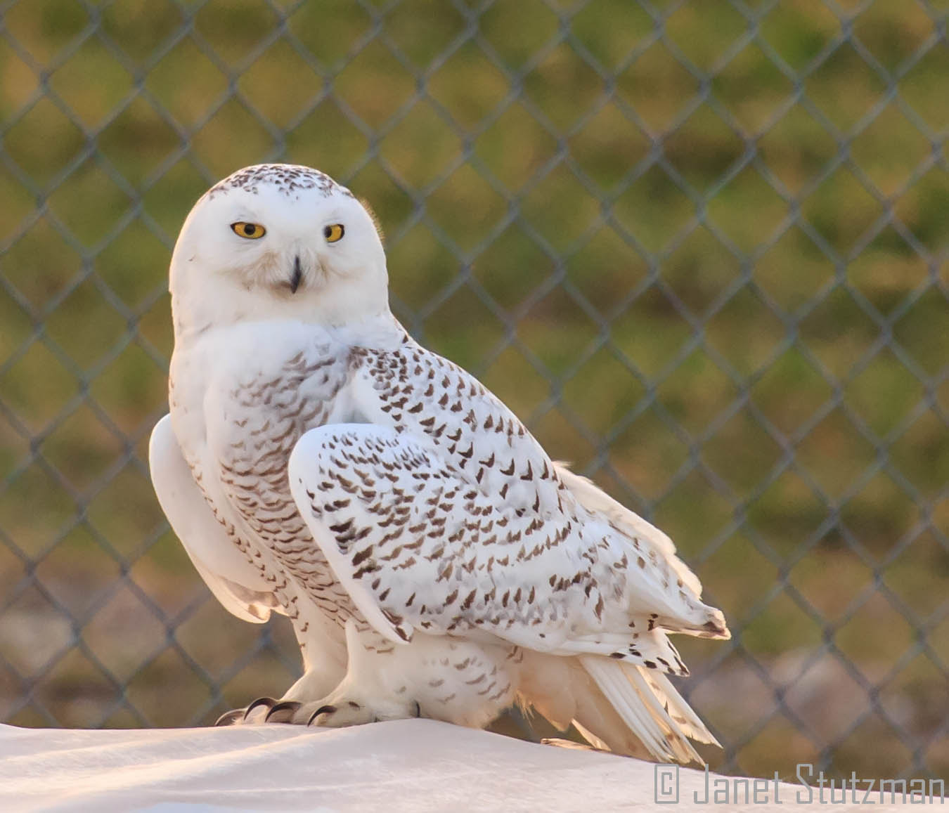 Photograph Snowy Owl by Janet Stutzman on 500px