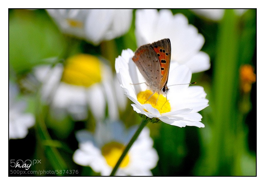 Photograph Lycaena phlaeas by HUSEYIN AY on 500px