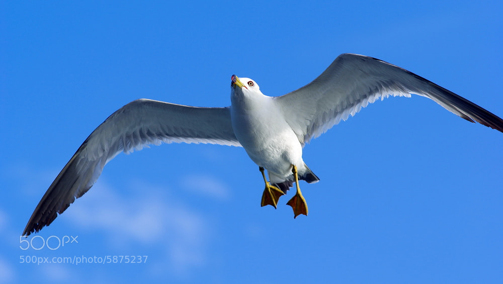 Photograph Larus canus_2 by James Chow on 500px