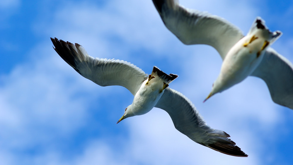 Photograph Larus canus_4 by James Chow on 500px