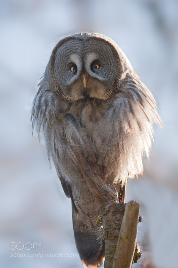 Photograph Great Grey Owl by andreas richter on 500px