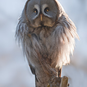 Great Grey Owl by andreas richter (animalphotography)) on 500px.com