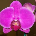 ������, ������: Orchid Orchid