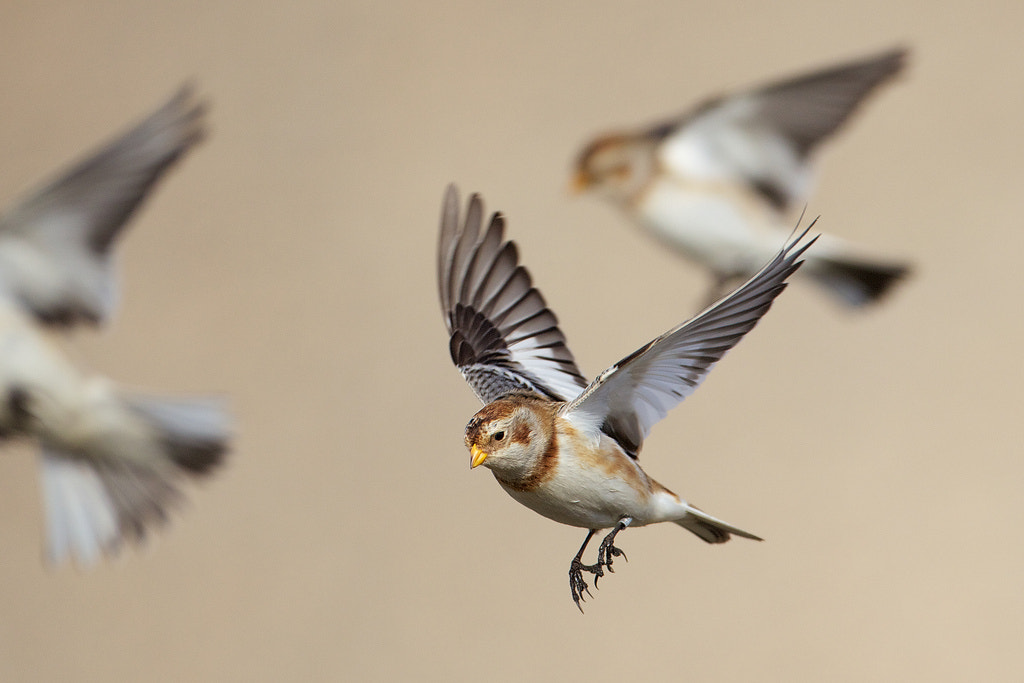 Photograph snow bunting by Mark Bridger on 500px