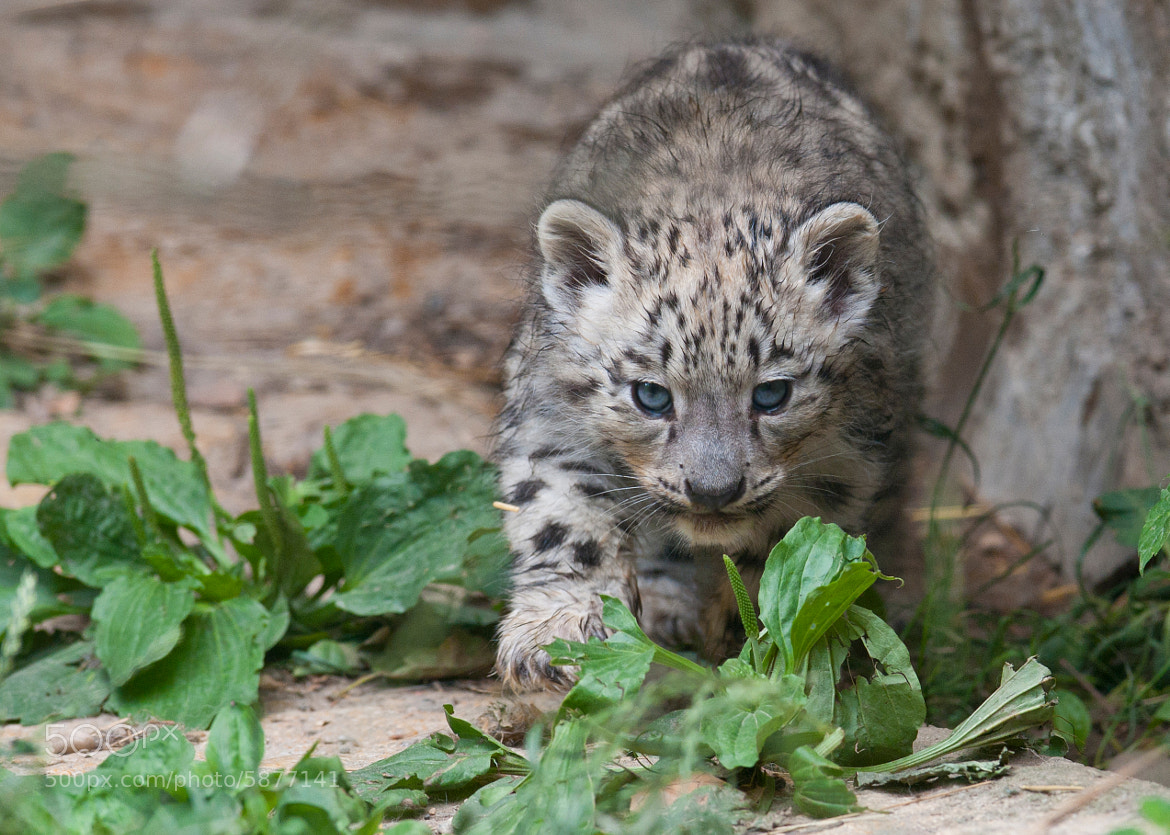 Photograph Cute Snow Leopard Cub by andreas richter on 500px
