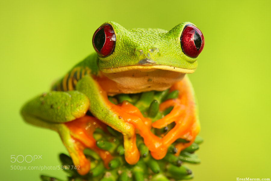 Photograph Queen of all Frogs by Erez Marom on 500px