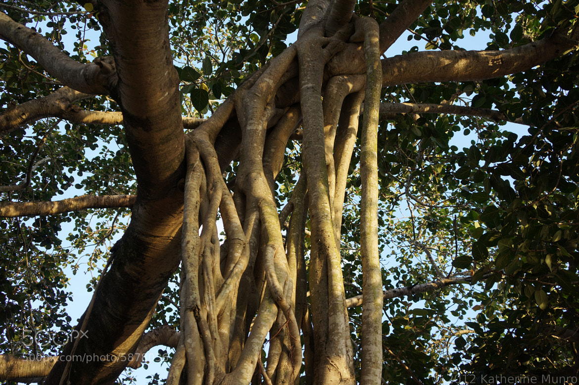 Photograph Fig tree by Katherine Munro on 500px