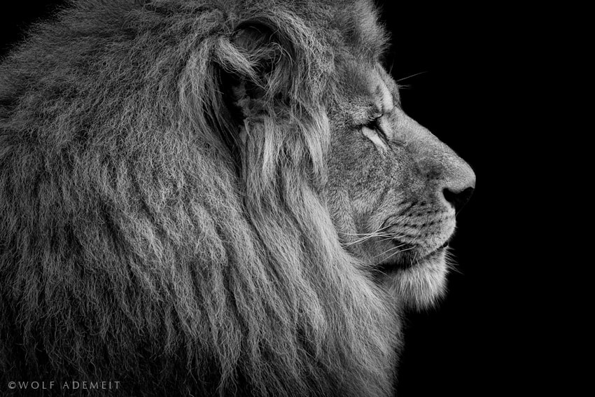 Photograph LION PORTRAIT by Wolf Ademeit on 500px