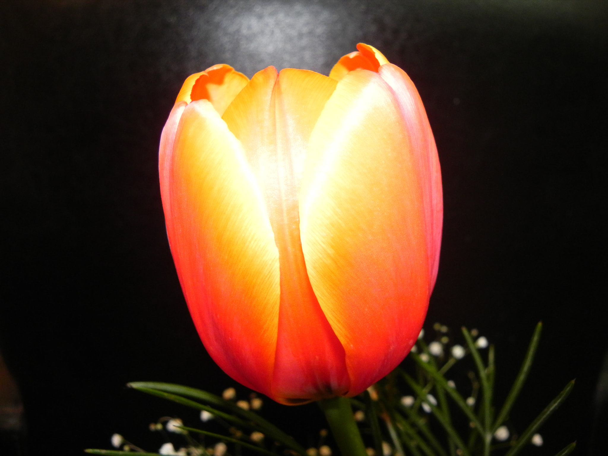 """Photograph an """"electric"""" Tulip by Liora Levin on 500px"""