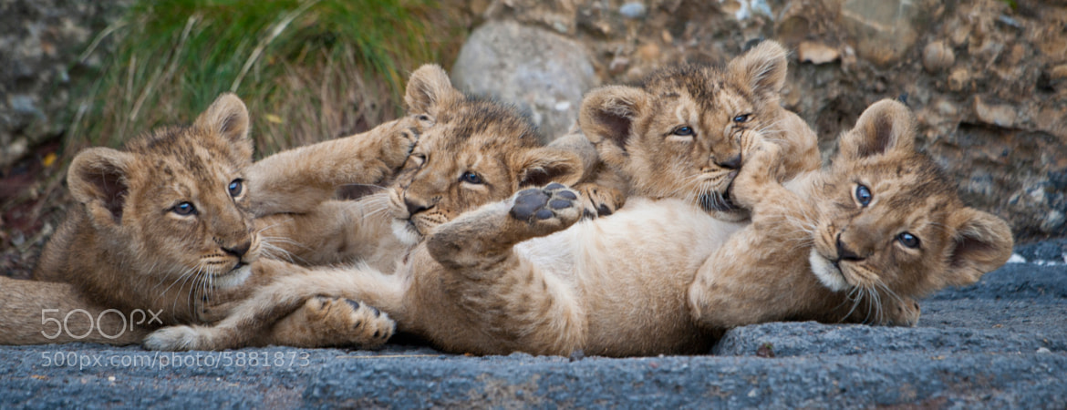 Photograph Four Lion Cubs Playing by andreas richter on 500px