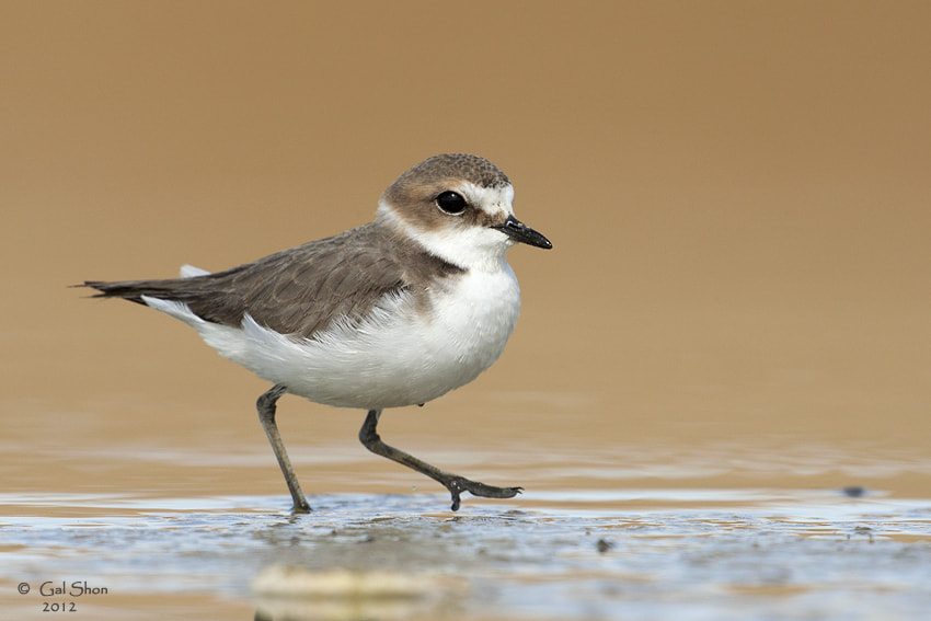 Photograph Kentish Plover by Gal Shon on 500px