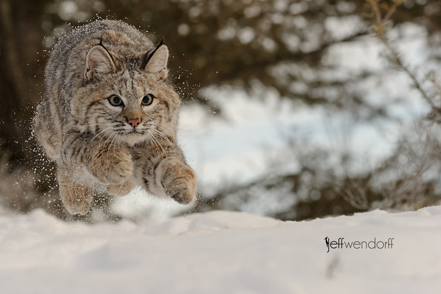 Photograph Getting Air - Young Bobcat by Jeff Wendorff on 500px