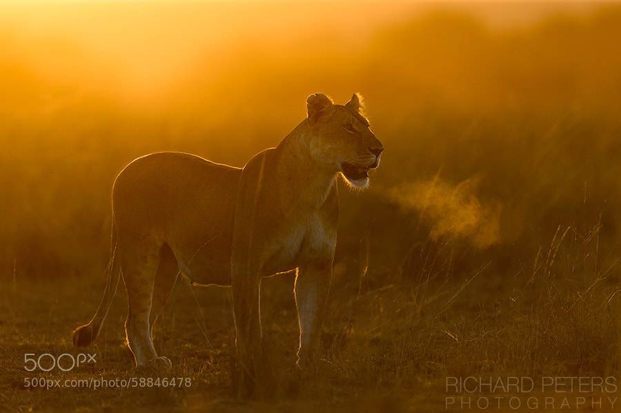 Photograph Lions Breath by Richard Peters on 500px
