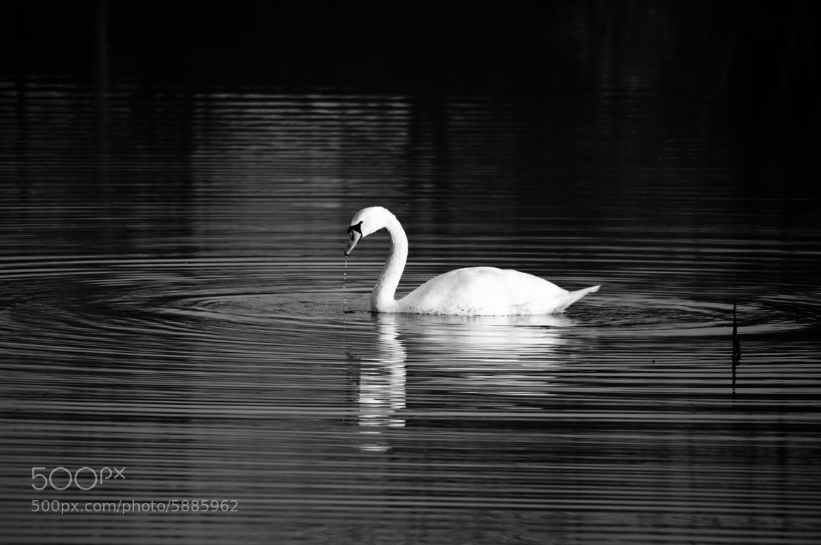 Photograph Swan by Philipp Burgkart on 500px