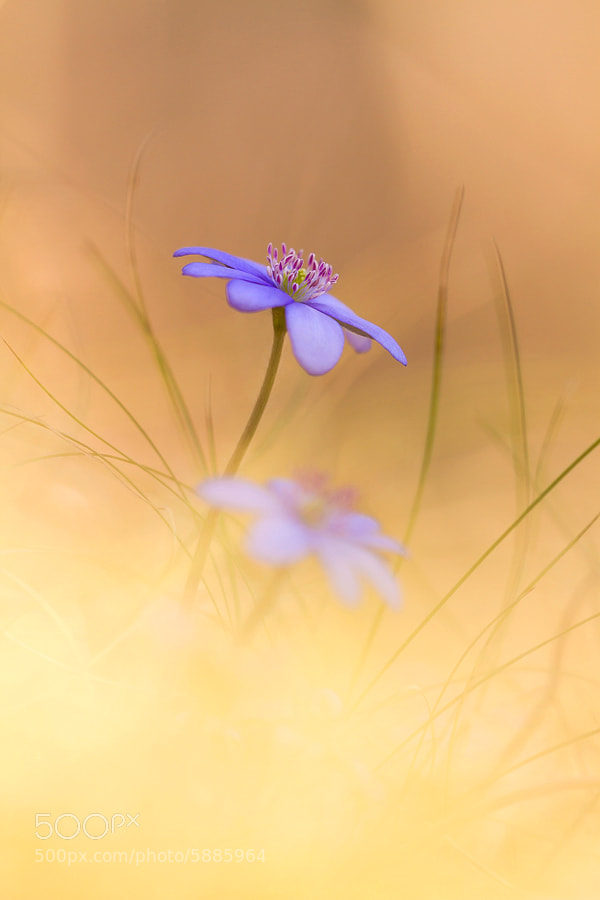 Photograph Anemone hepatica by Anton Simon on 500px