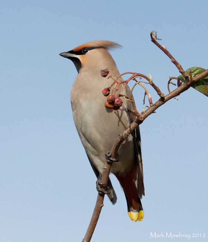 Photograph Waxwing by Mark Mowbray on 500px