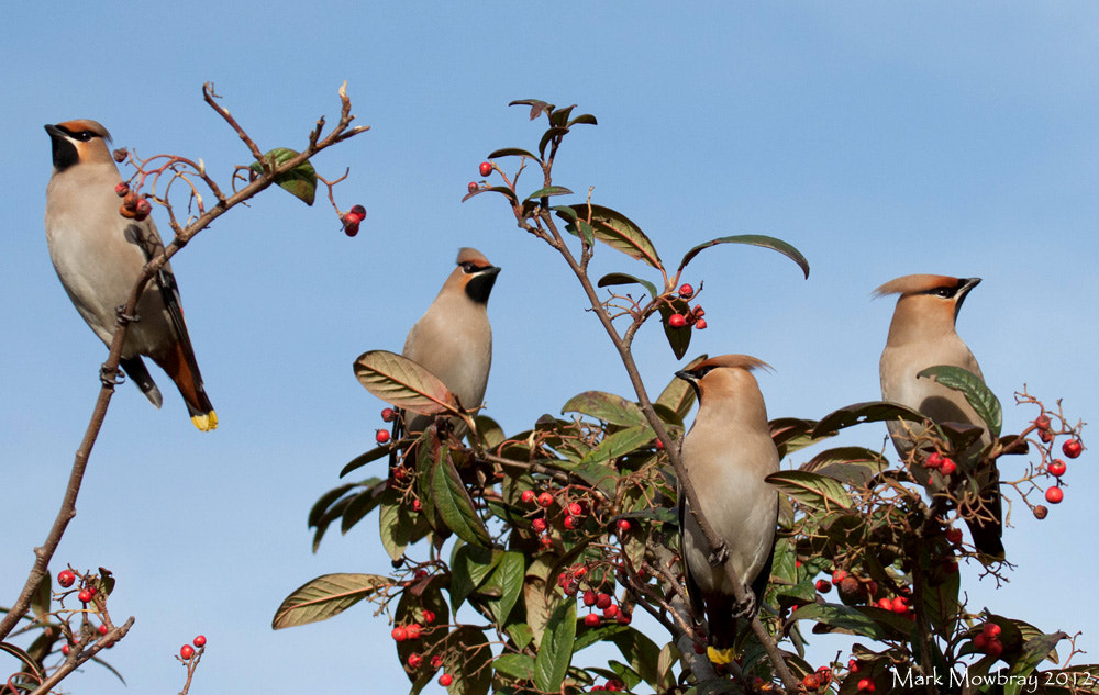 Photograph Waxwings by Mark Mowbray on 500px