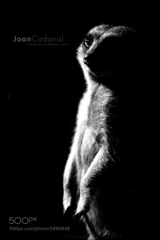 Photograph suricata by Joan Marti on 500px