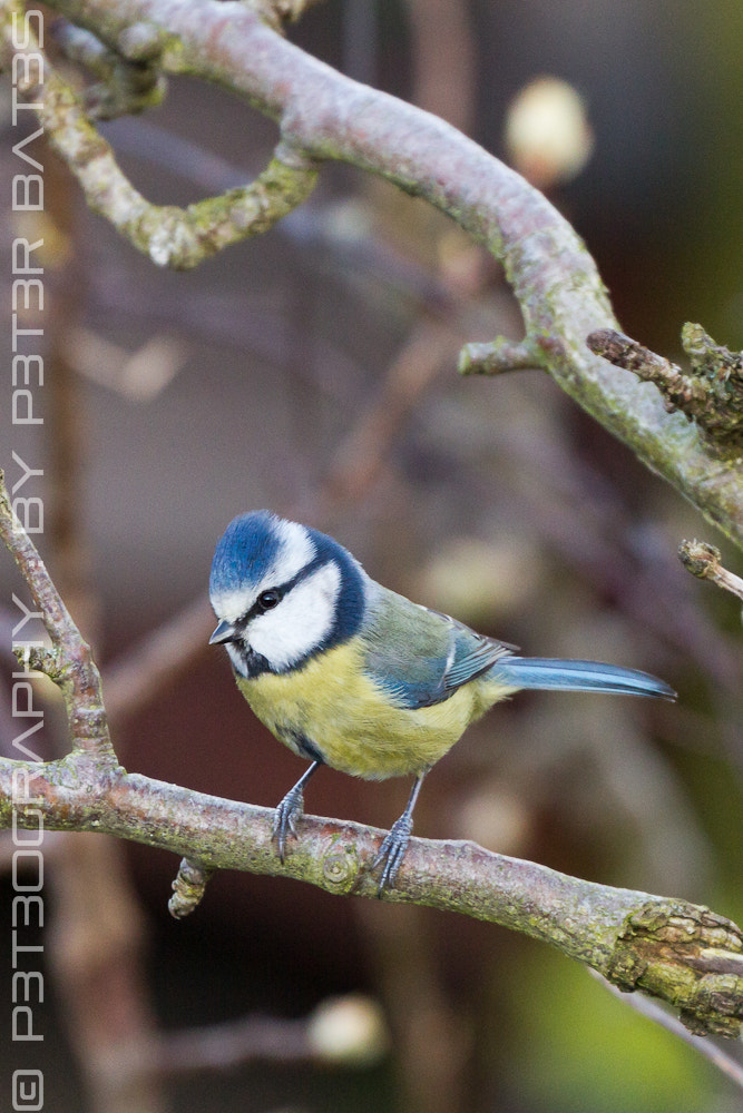 Photograph Blue Spiked Bandit (Blue Tit) by Peter Bates on 500px