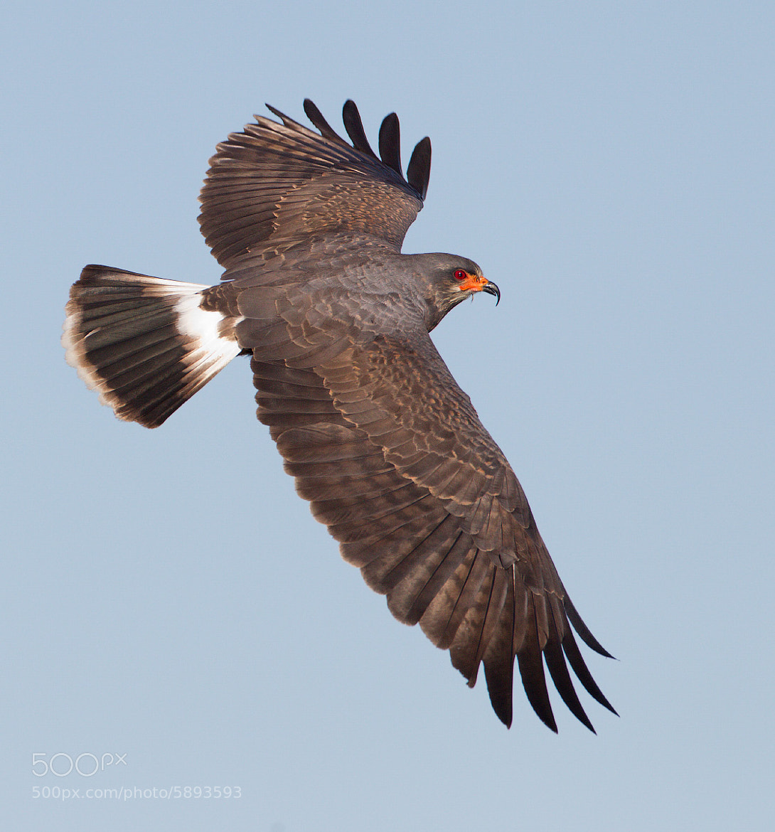 Photograph Wind flare - snail kite by Ron Bielefeld|Whistling Wings Photography on 500px