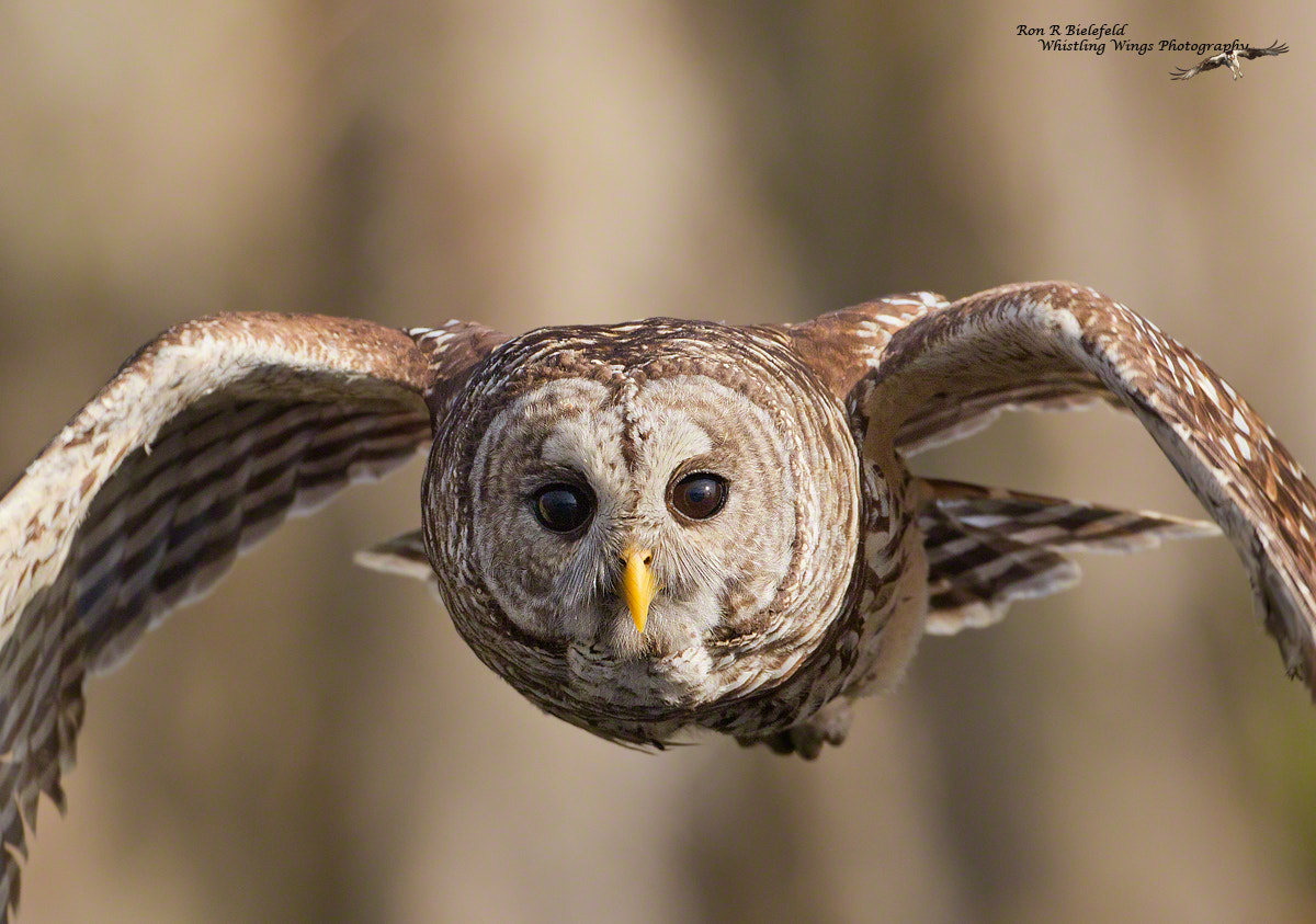 Photograph Defender - barred owl by Ron Bielefeld on 500px
