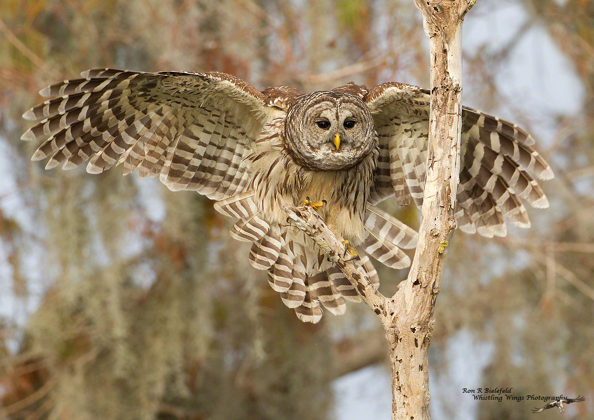 Photograph Checking in - barred owl by Ron Bielefeld on 500px