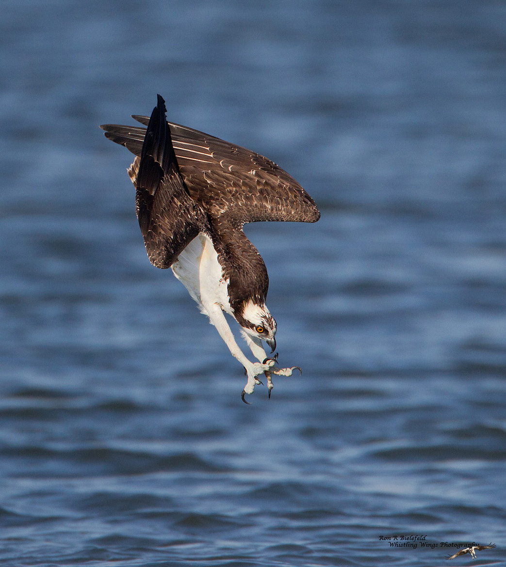 Photograph Sudden Death - osprey by Ron Bielefeld on 500px