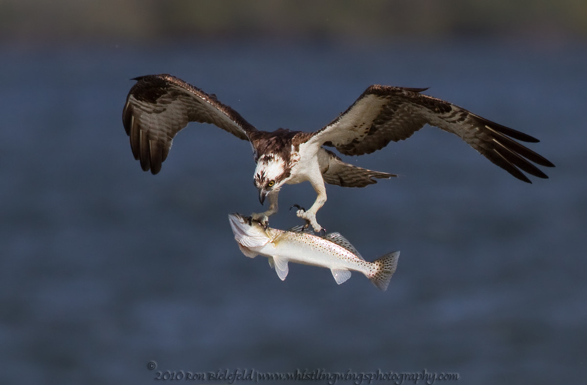 Photograph Big fish - osprey by Ron Bielefeld on 500px