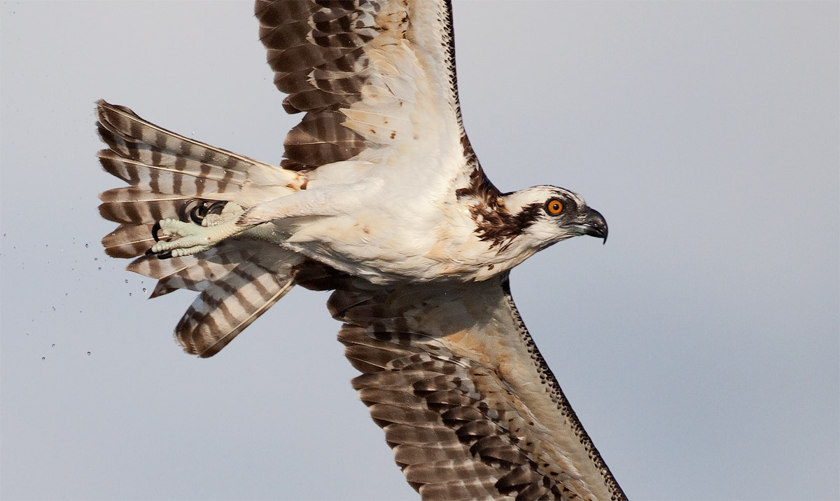 Photograph The eye has it - Osprey by Ron Bielefeld on 500px