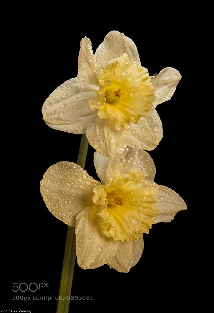 Photograph Daffodils #3 by Mark Wycherley on 500px