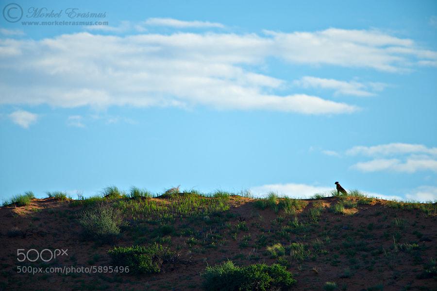 Photograph Cheetah Sentinel by Morkel Erasmus on 500px