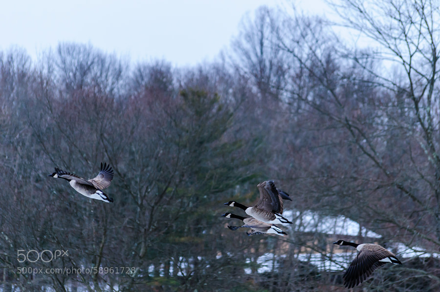 This morning at the pond I love going to, the geese would take off in groups.