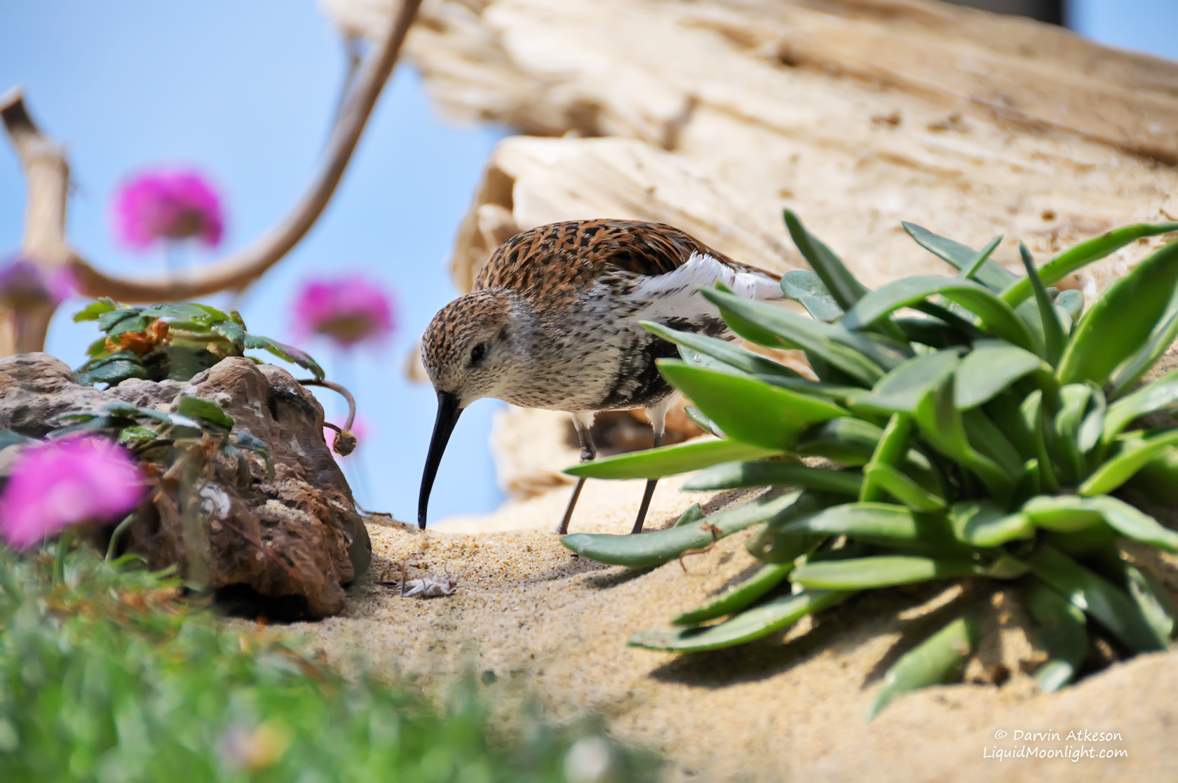Photograph Western Sandpiper by Darvin Atkeson on 500px