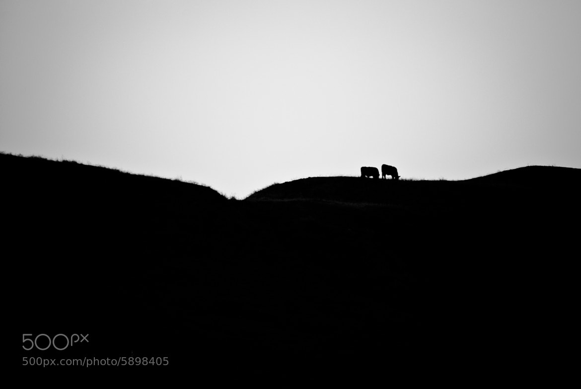 Photograph Two Cows  by Daniel Valencia on 500px
