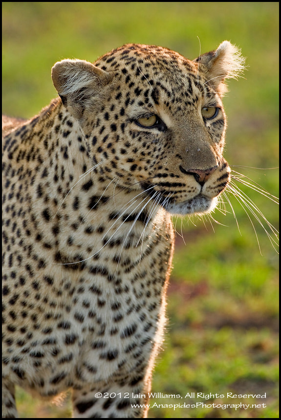 Photograph Leopard (Panthera pardus) - Kenya by Anaspides Photography - Iain D. Williams on 500px