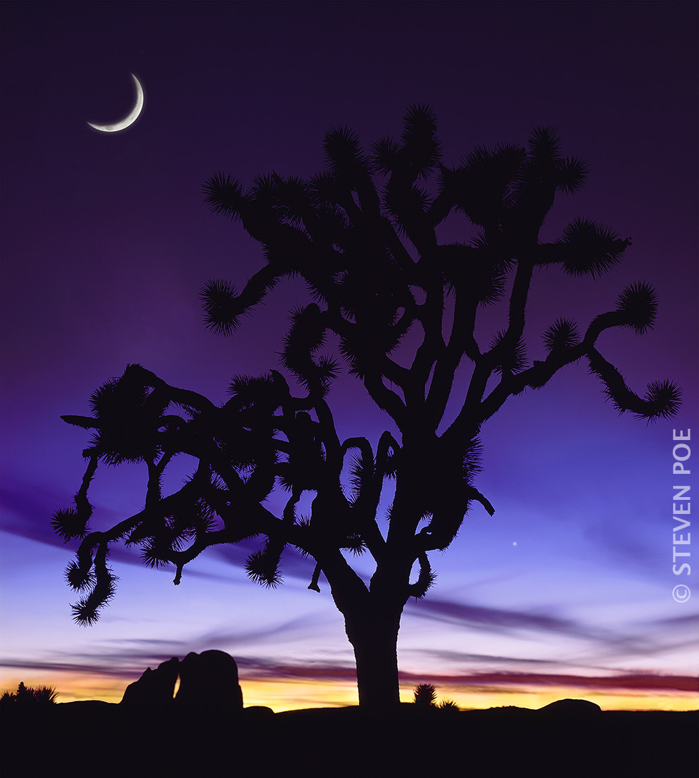 Photograph Silhouette of a Joshua Tree with cresent moon in sky. by Steven Poe on 500px