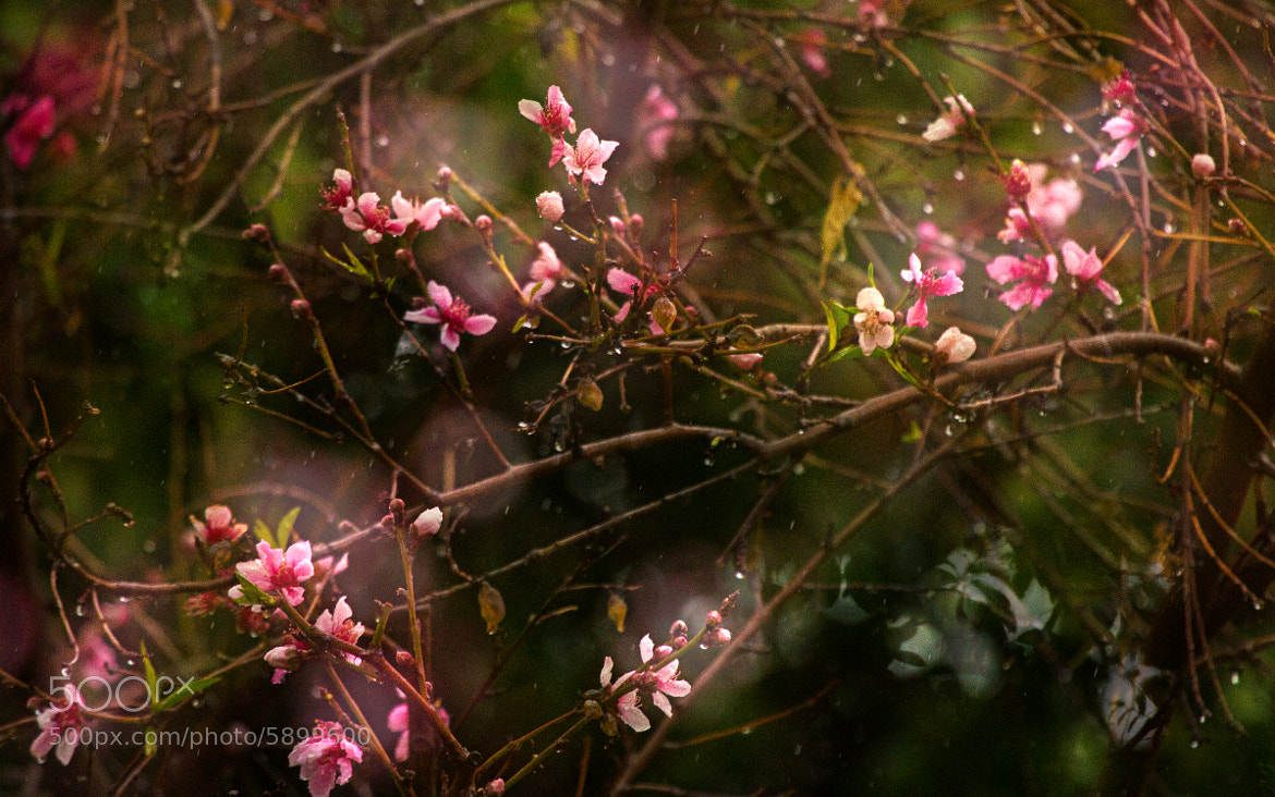 Photograph Spring, Rain, Peach Blossoms by Dorothy Cunningham on 500px