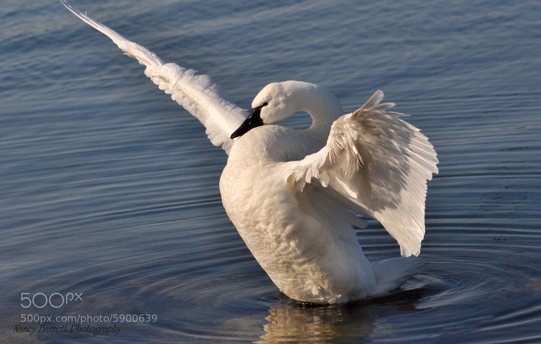 Photograph Tundra Swan (Cygnus columbianus) by Nancy Barrett on 500px
