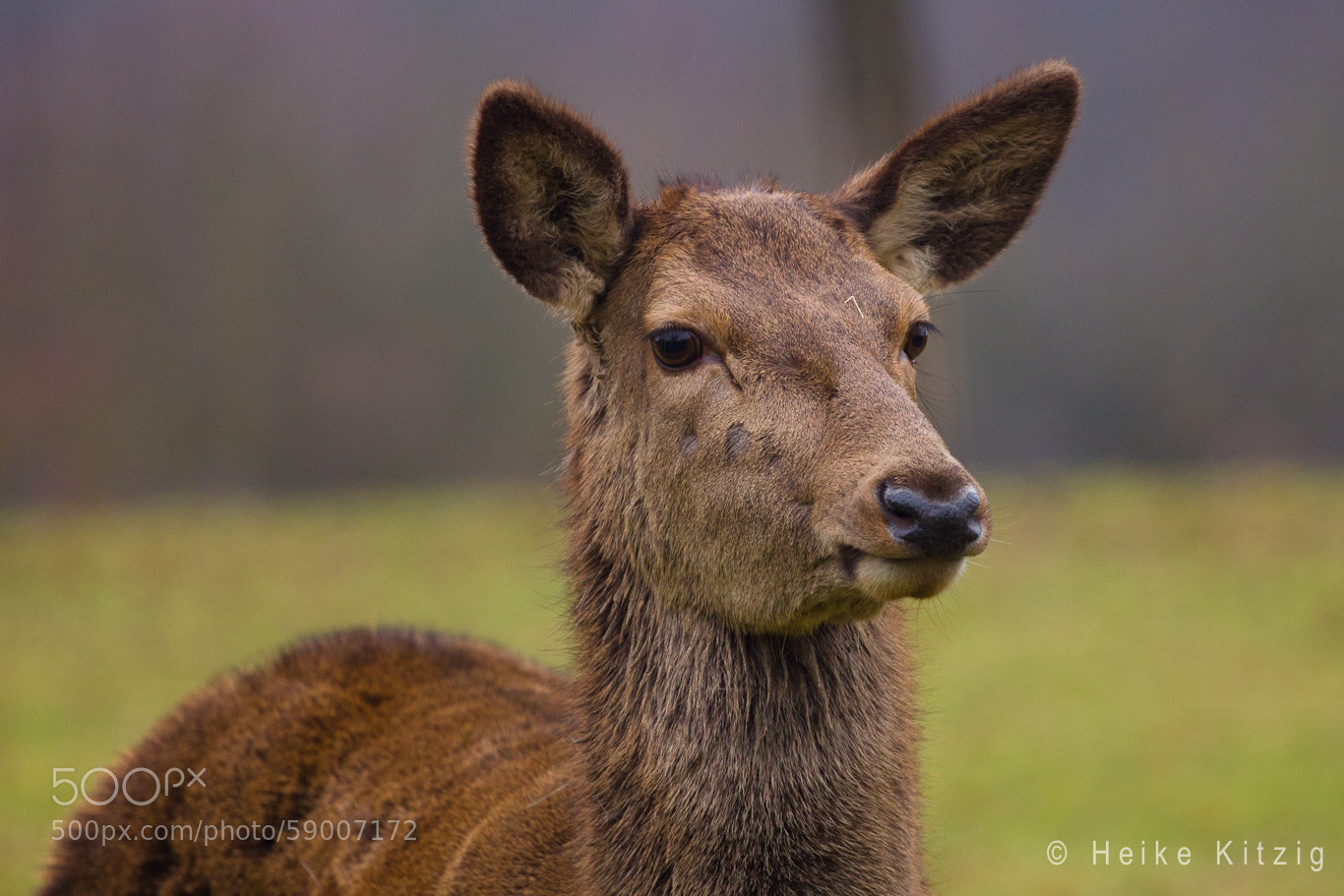 Photograph Deer by Heike Kitzig on 500px