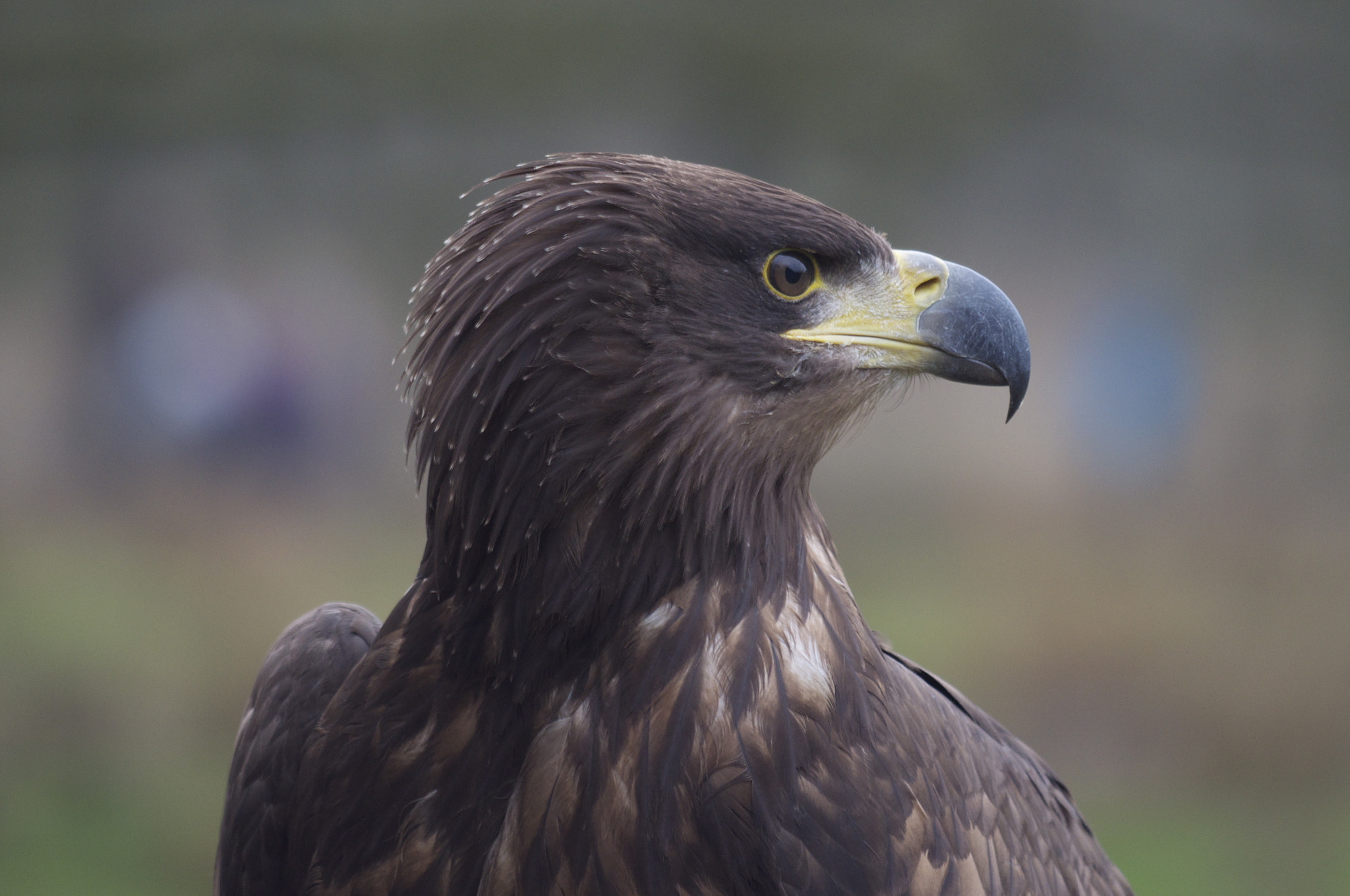 Photograph eagle by Michael Xornot on 500px