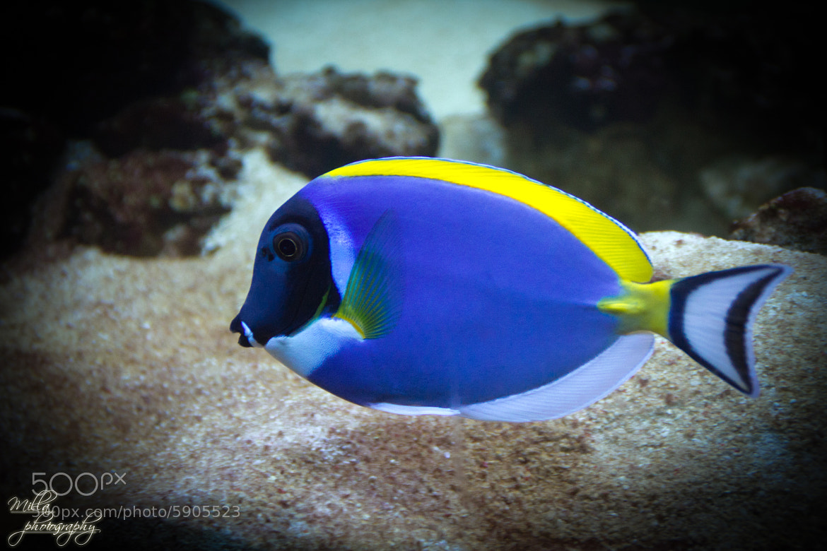 photograph dory fish by milla v on 500px