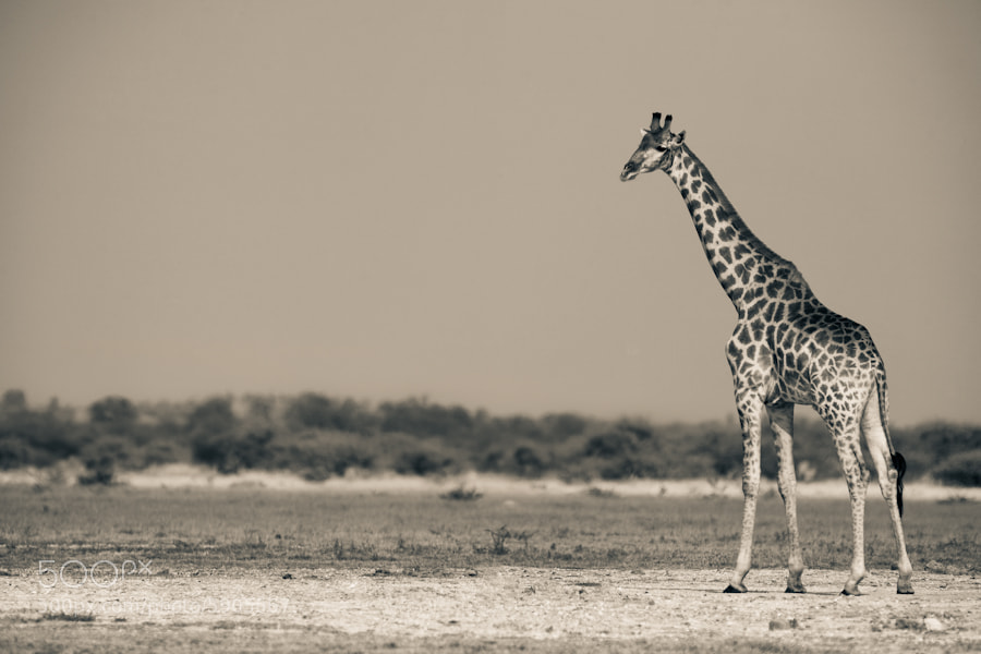 Photograph Giraffe On The Pan by Mario Moreno on 500px